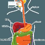 digestion-min